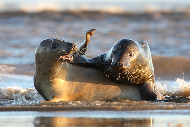 focasgrises